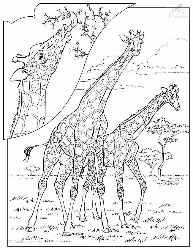 Ausmalbild Giraffe