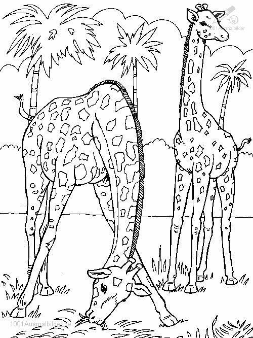 Ausmalbild: ausmalbild-giraffe-8